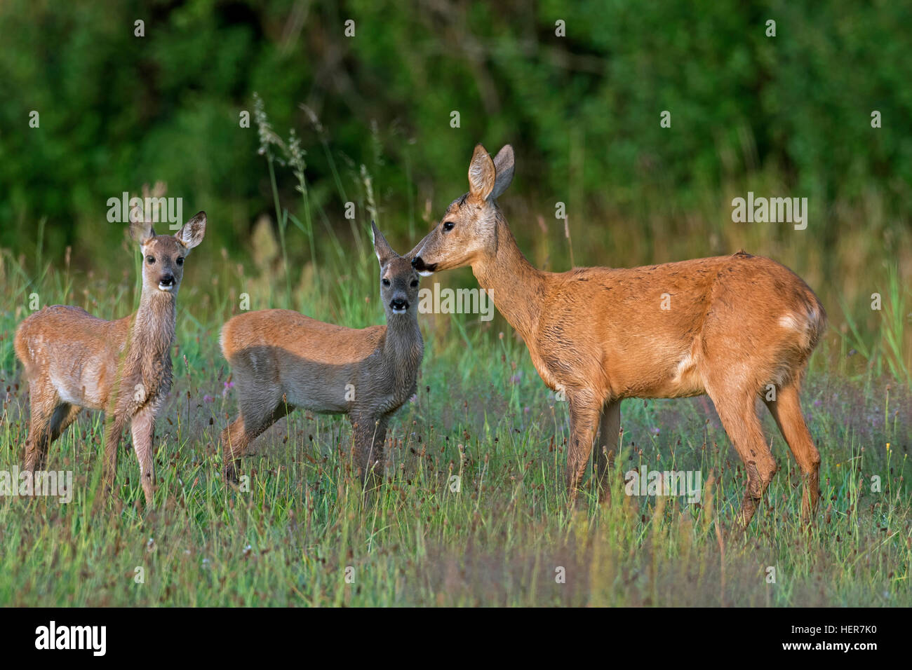 European roe deer (Capreolus capreolus) female with two fawns in grassland at forest's edge in summer - Stock Image