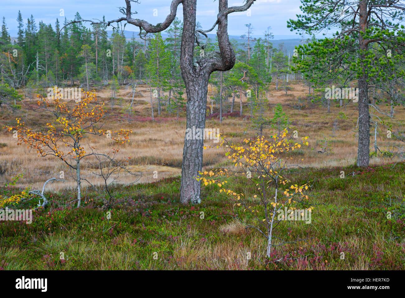 Old Scots pine (Pinus sylvestris) trees in moorland, Fulufjaellet / Fulufjället National Park, Älvdalen, - Stock Image