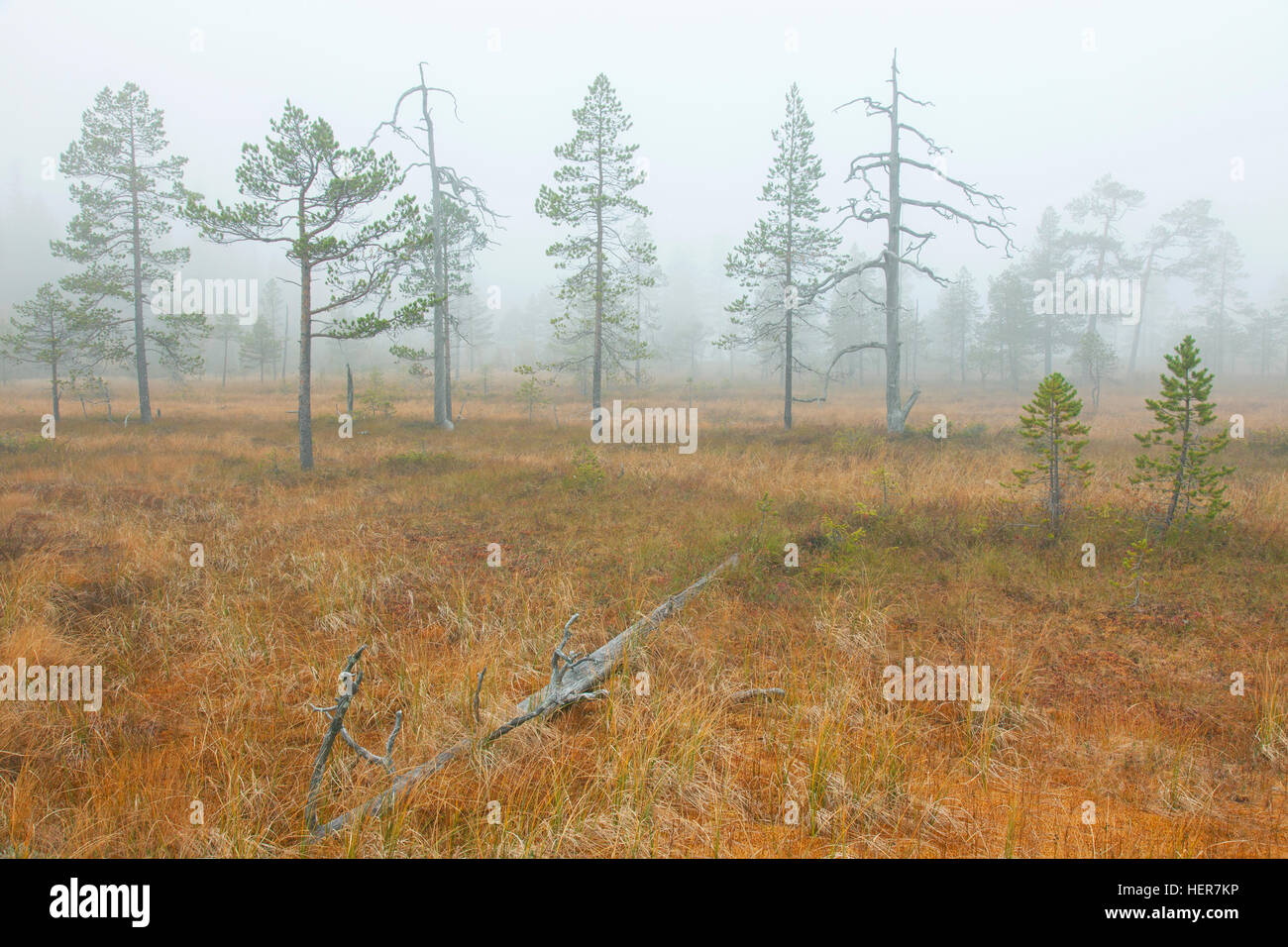 Old Scots pines (Pinus sylvestris) in moorland in the mist, Fulufjaellet / Fulufjället National Park, Älvdalen, - Stock Image