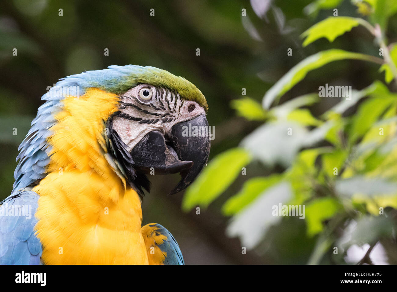 Close up of the head of a Blue and Yellow, or Blue and Gold Macaw, ( Ara ararauna ), native to South America - Stock Image