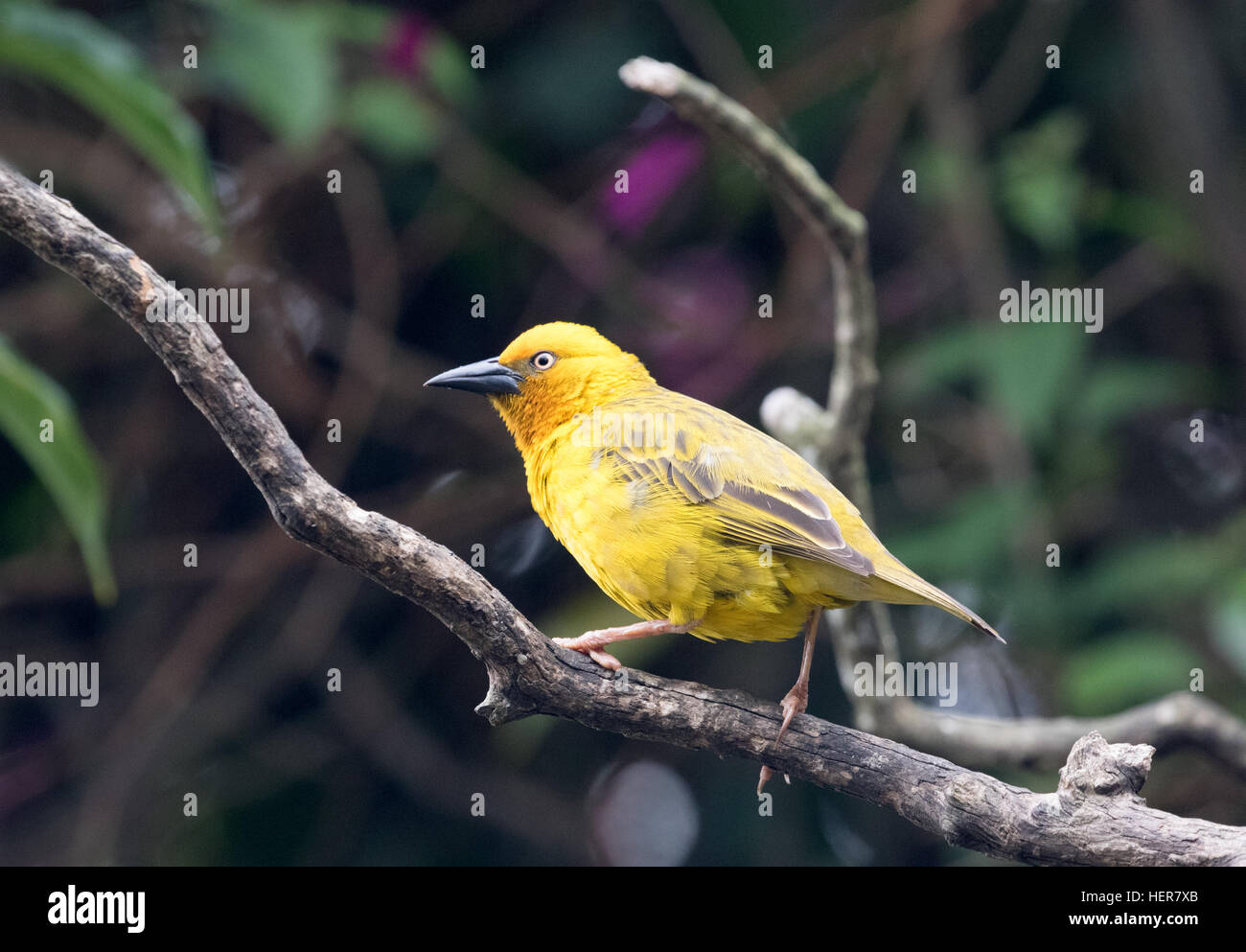 Golden Palm Weaver bird, adult, side view, South Africa - Stock Image
