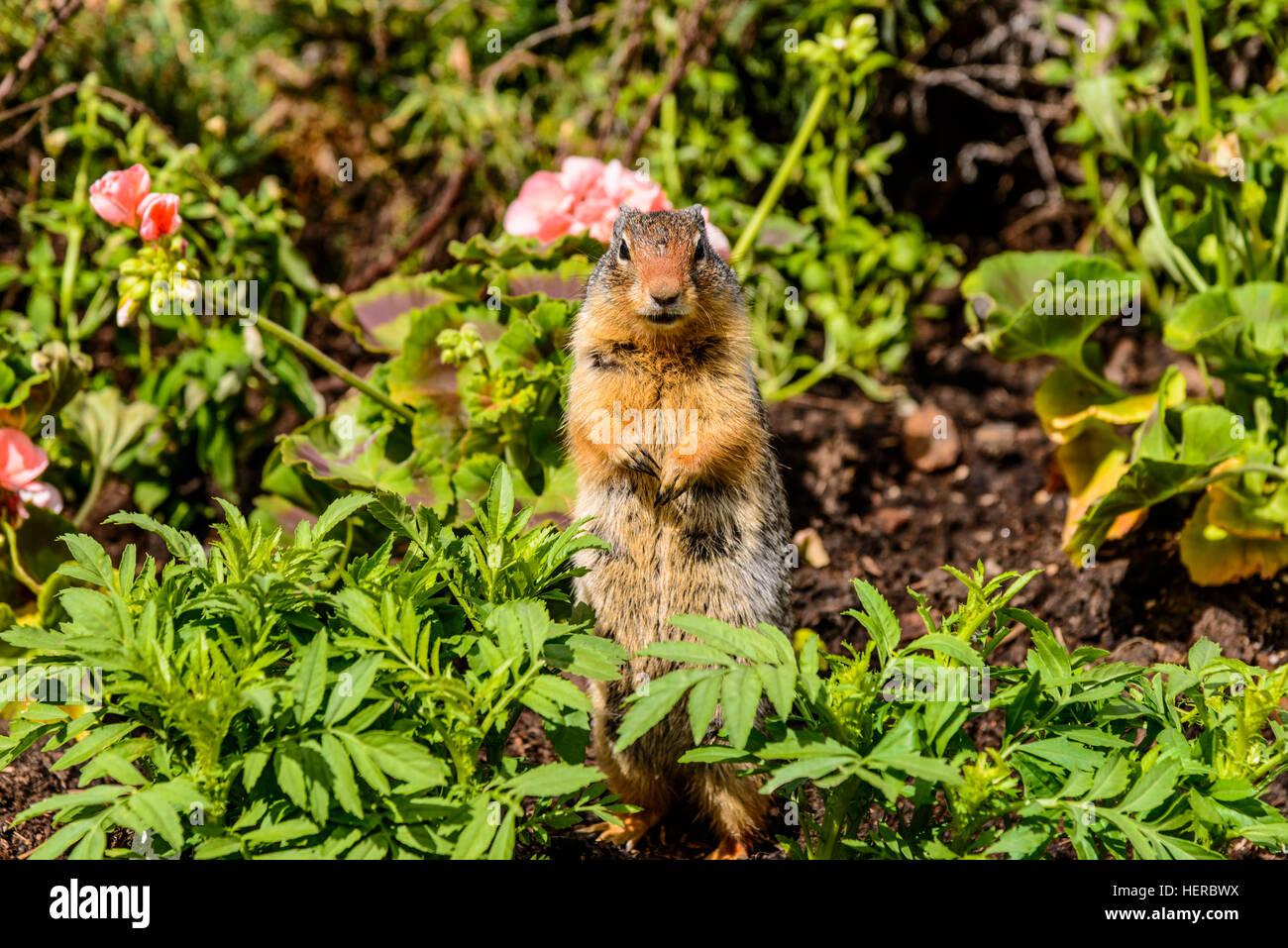 Kanada, Alberta, Banff National Park, Lake Louise Village, Columbian Ground Squirrel - Stock Image