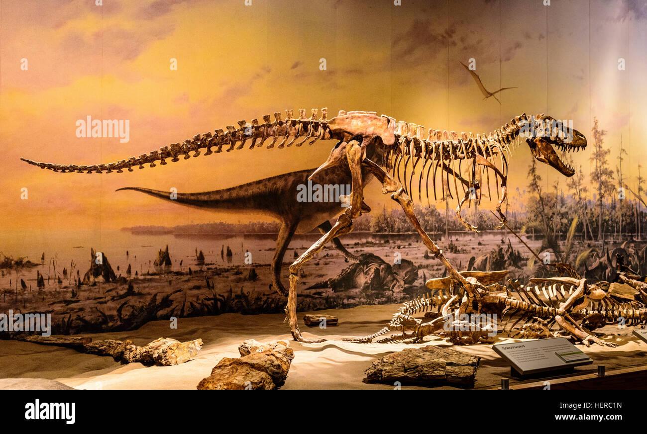 Kanada, Alberta, Canadian Badlands, Red Deer River Valley, Drumheller, Royal Tyrrell Museum of Palaeontology, Dinosaurierskelett, - Stock Image