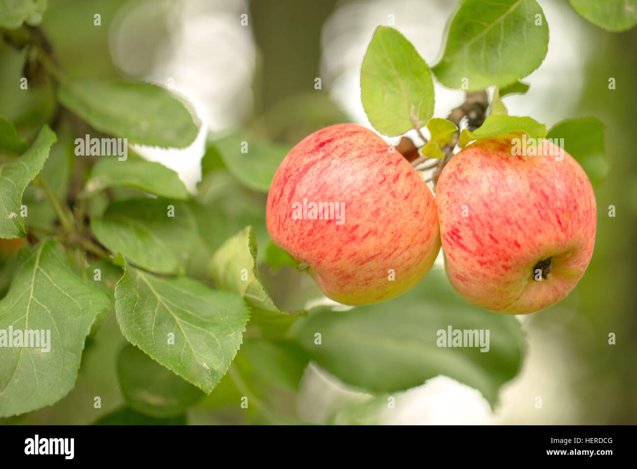 2 apples,2 objects,4-season autumn,agriculture,apple tree,apple tree branch,autumn,bokeh,bright,closeup,close-up - Stock Image