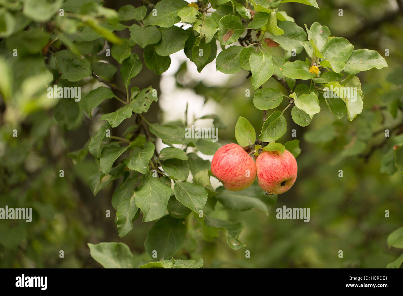2 apples,2 objects,4-season autumn,agriculture,apple tree,apple tree branch,autumn,bright,close-up apples,closeup,colorful,delicious,dessert,diet,food,four - Stock Image
