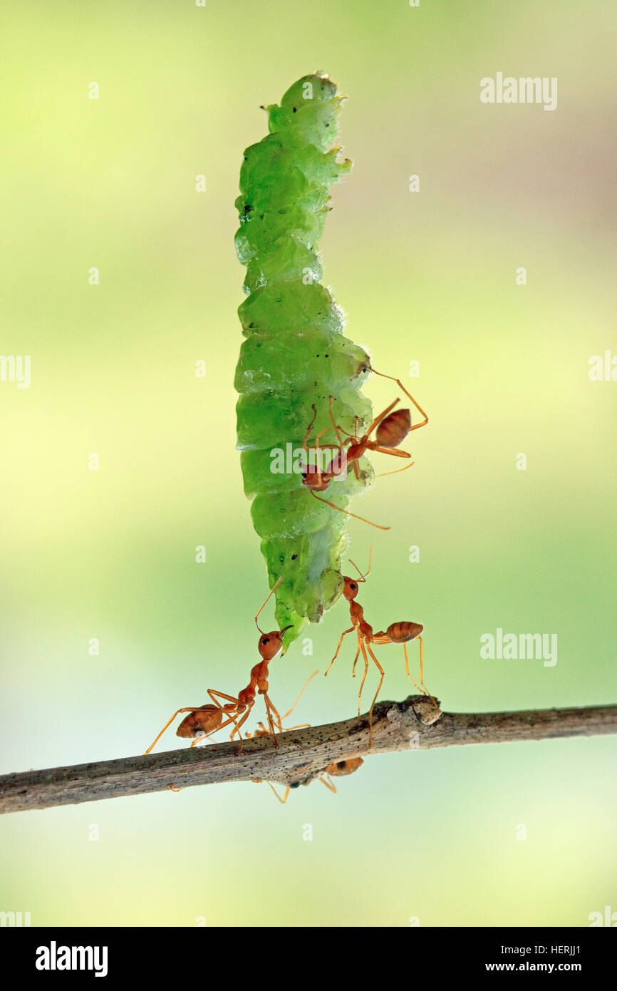 Ants carrying part of a leaf, Indonesia - Stock Image