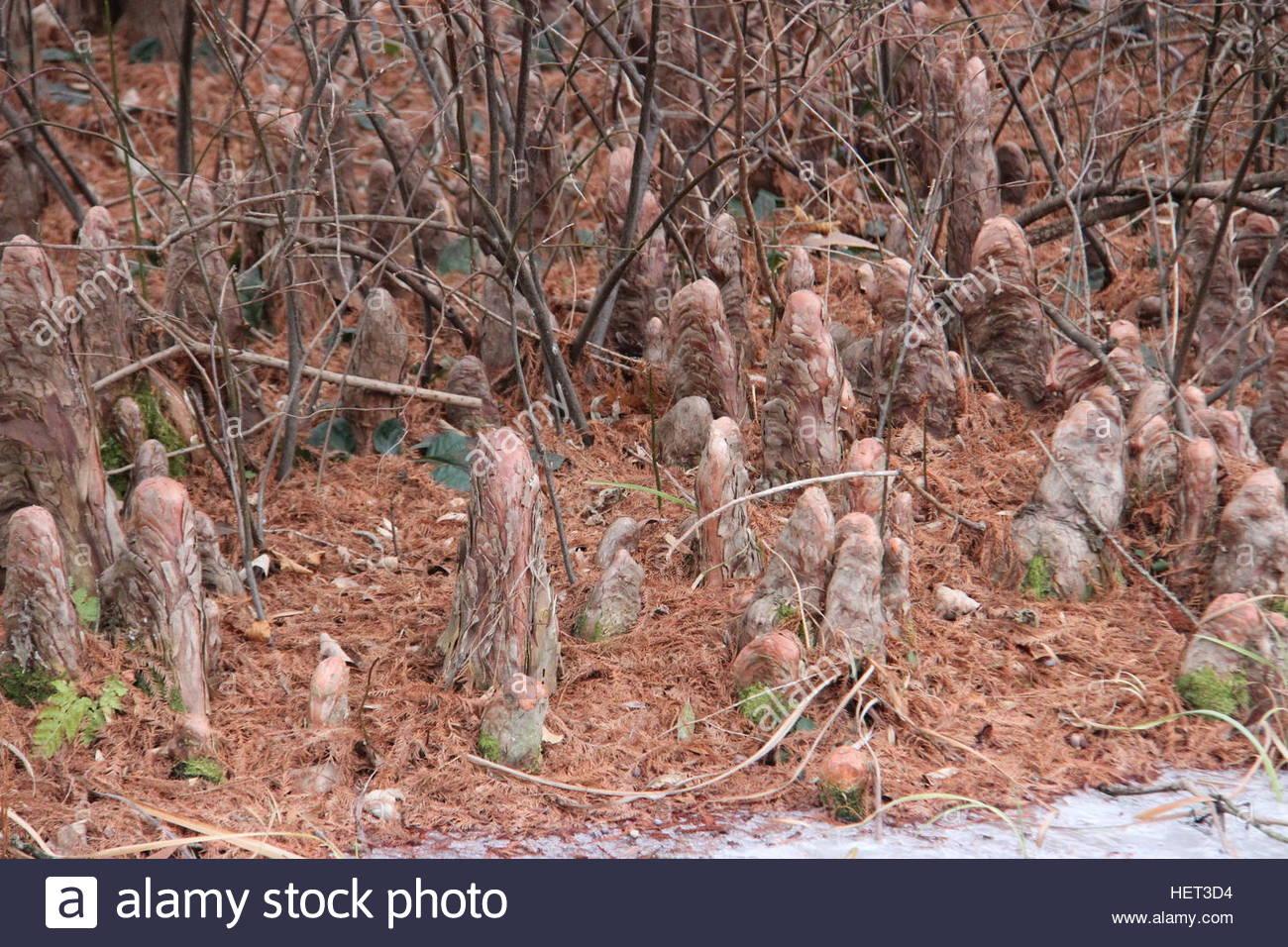 Cypress Stumps - Stock Image