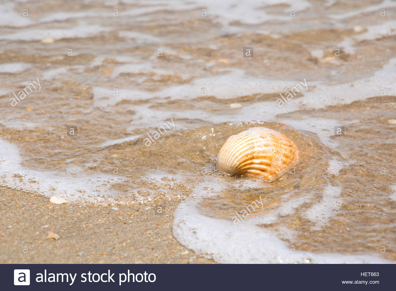 Shell at sandy beach closeup, nature beach natural beauty abstract nature close up beach sand closeup ocean natural - Stock Image