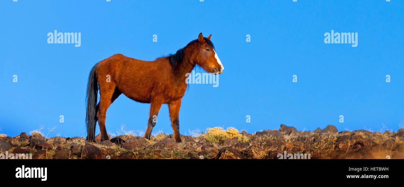 Wild Mustang Horse in the Nevada desert - Stock Image