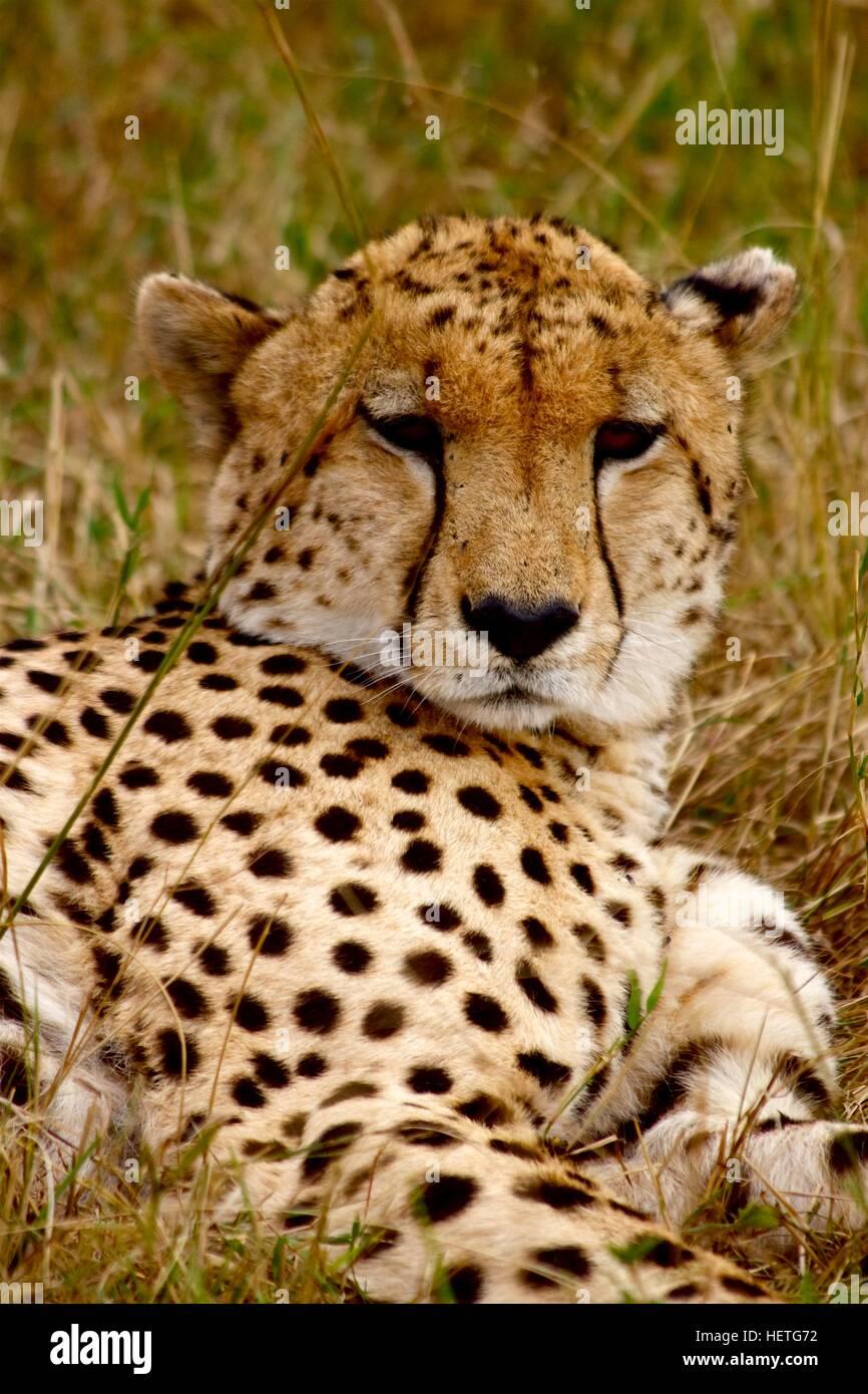 Cheetah dozing (Acinonyx jubatus) - Stock Image
