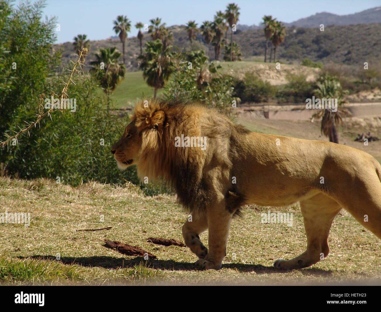lion san diego zoo safari park stock photo 129617995 alamy