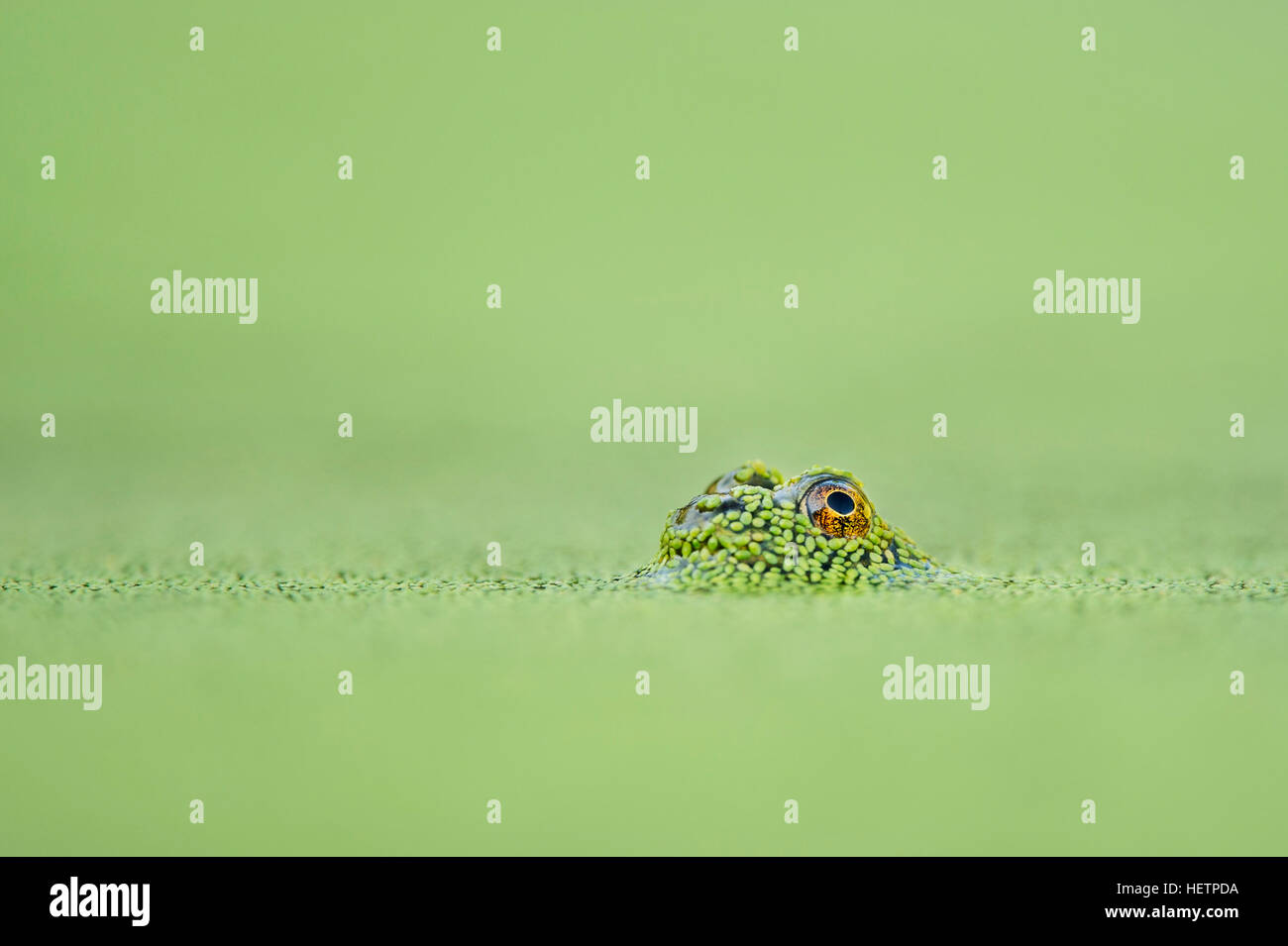 A tiny frog's one eye is visible just above the surface of the solid green duckweed covered water. - Stock Image