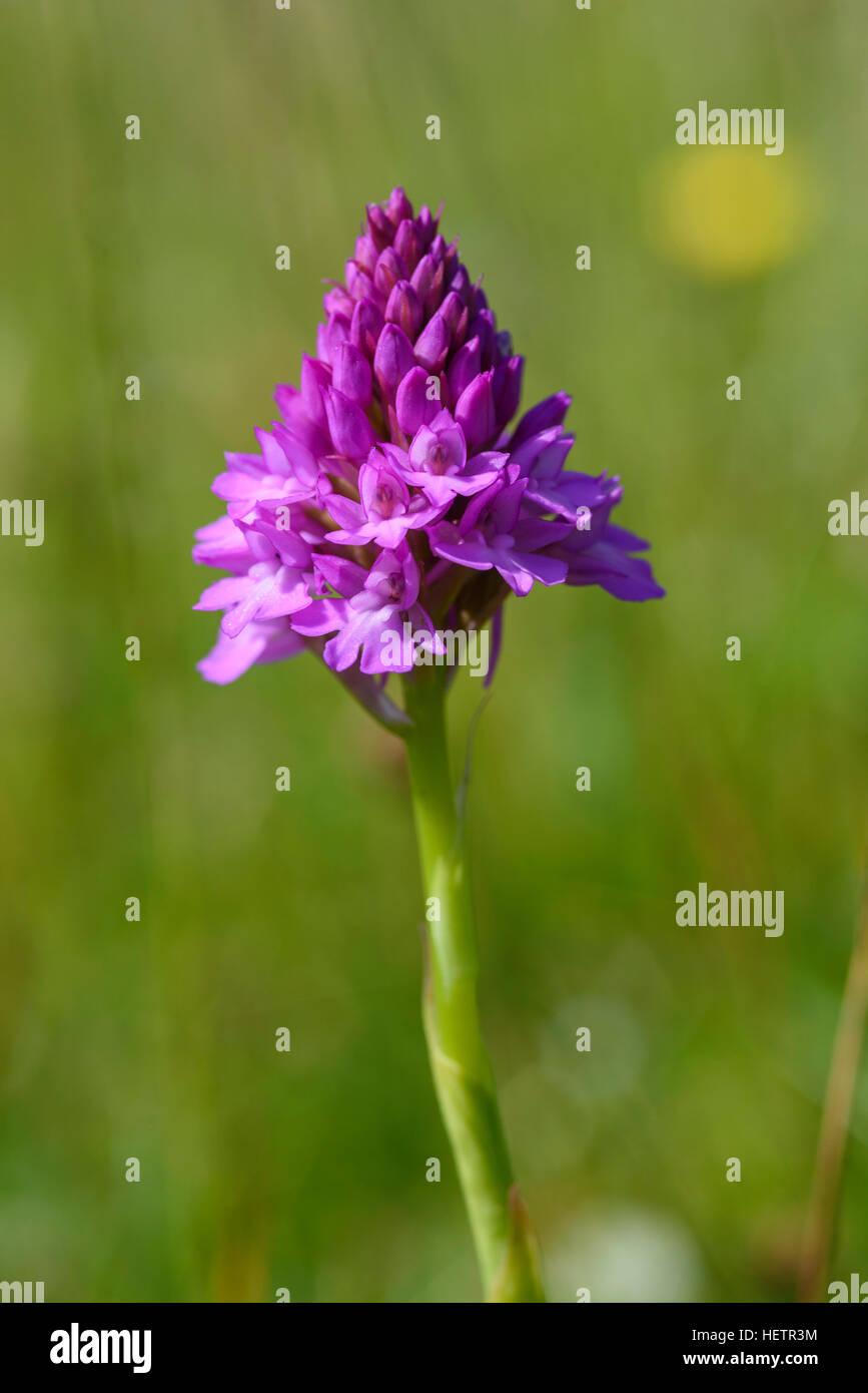 Pyramidal Orchid, Anacamptis pyramidalis, wildflower, Carrick, Dumfries & Galloway, Scotland Stock Photo
