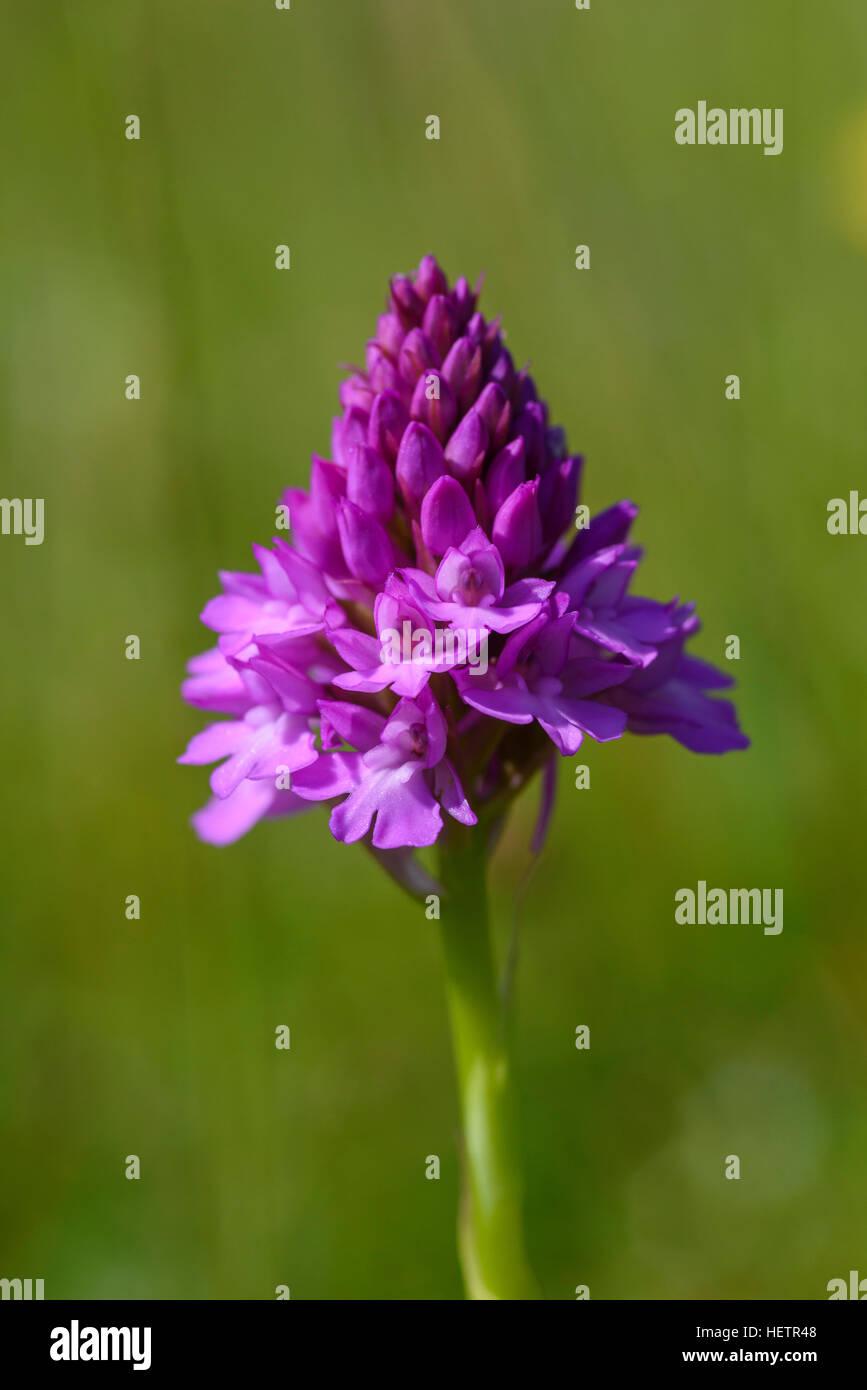 Pyramidal Orchid, Anacamptis pyramidalis, wildflower, Carrick, Dumfries & Galloway, Scotland - Stock Image
