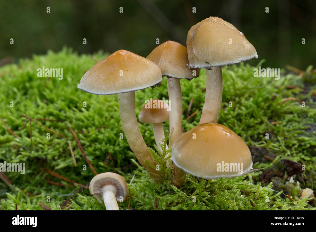 Rauchblättriger Schwefelkopf, Graublättriger Schwefelkopf, Milder Schwefelkopf, Hypholoma capnoides, Conifer Tuft Stock Photo