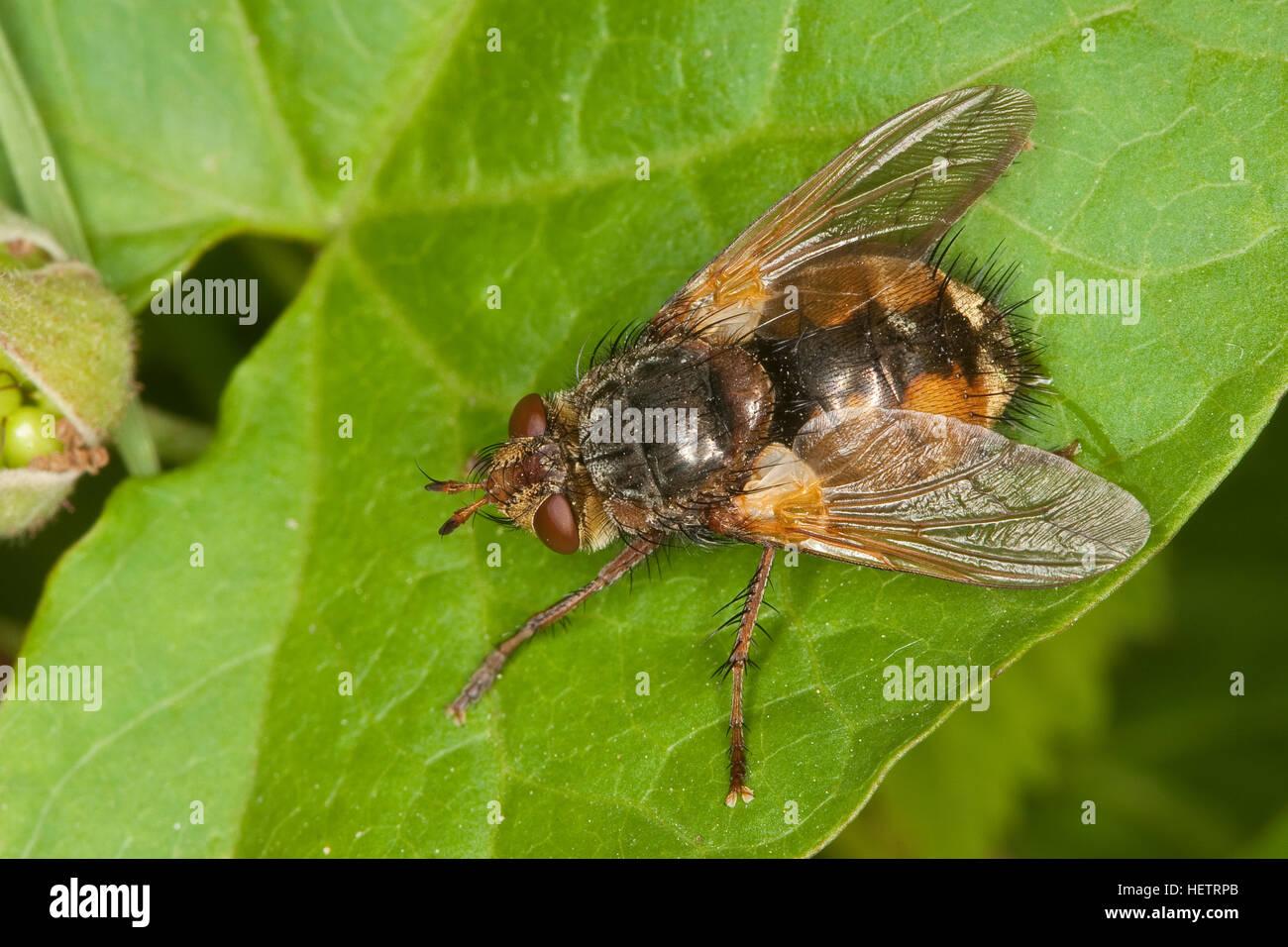 Igelfliege, Raupenfliege, Weibchen, Tachina fera, Tachinid Fly, Tachinidae, Raupenfliegen, Igelfliegen, Schmarotzerfliegen, Stock Photo