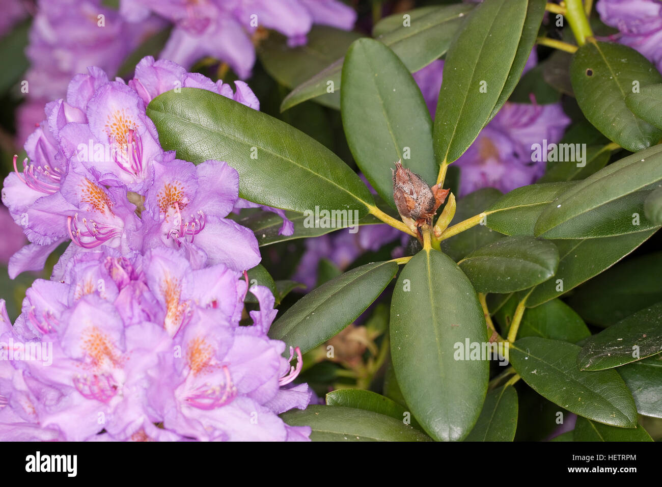 Rhododendron-Knospenfäule, Knospenfäule, vertrocknete Knospe, Knospen an Rhododendron, Zierstrauch im - Stock Image