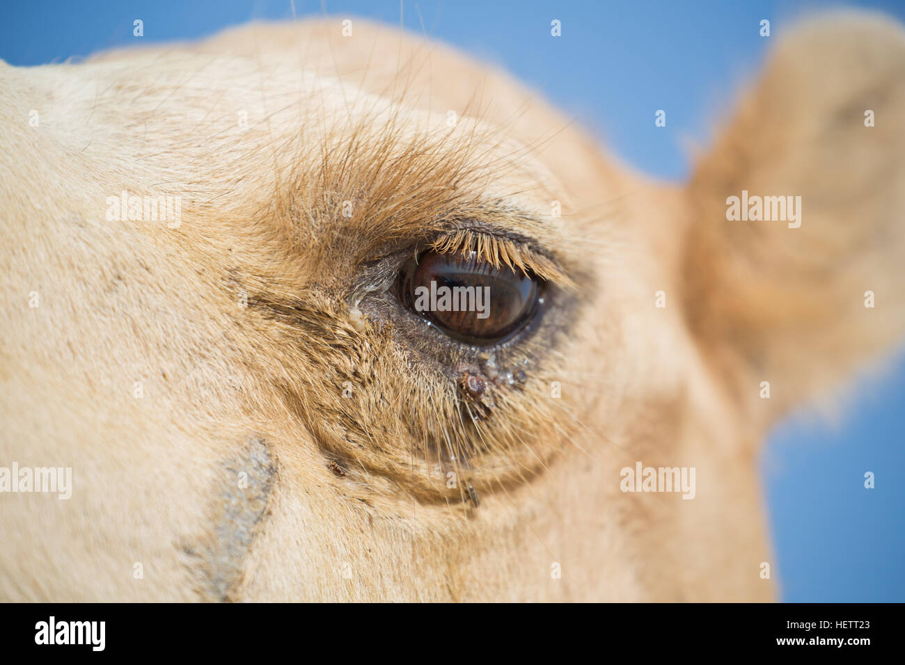 A camel's eye - Stock Image