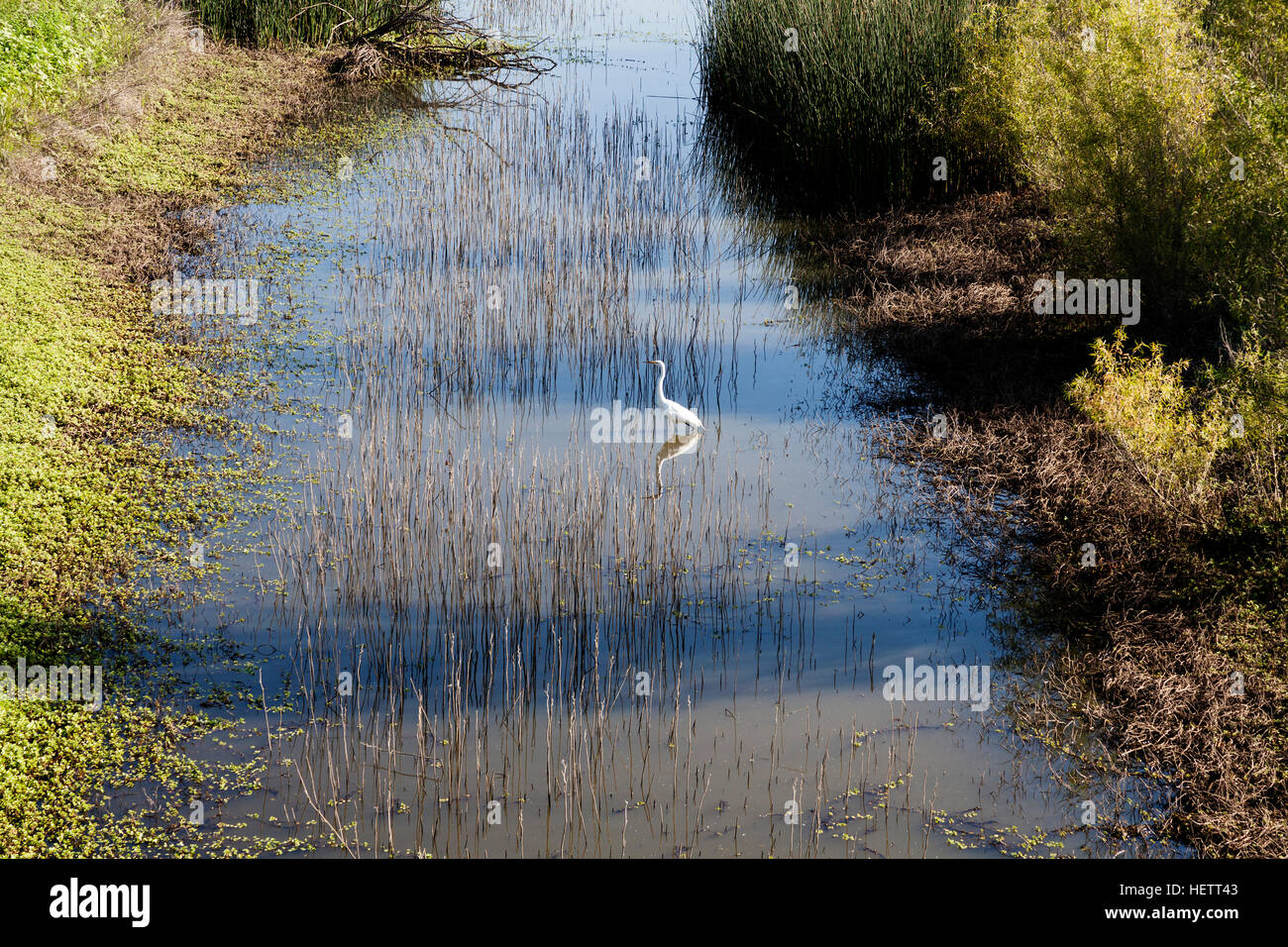 White Egret In Wetlands Standing In Water With Green Reeds Stock Photo