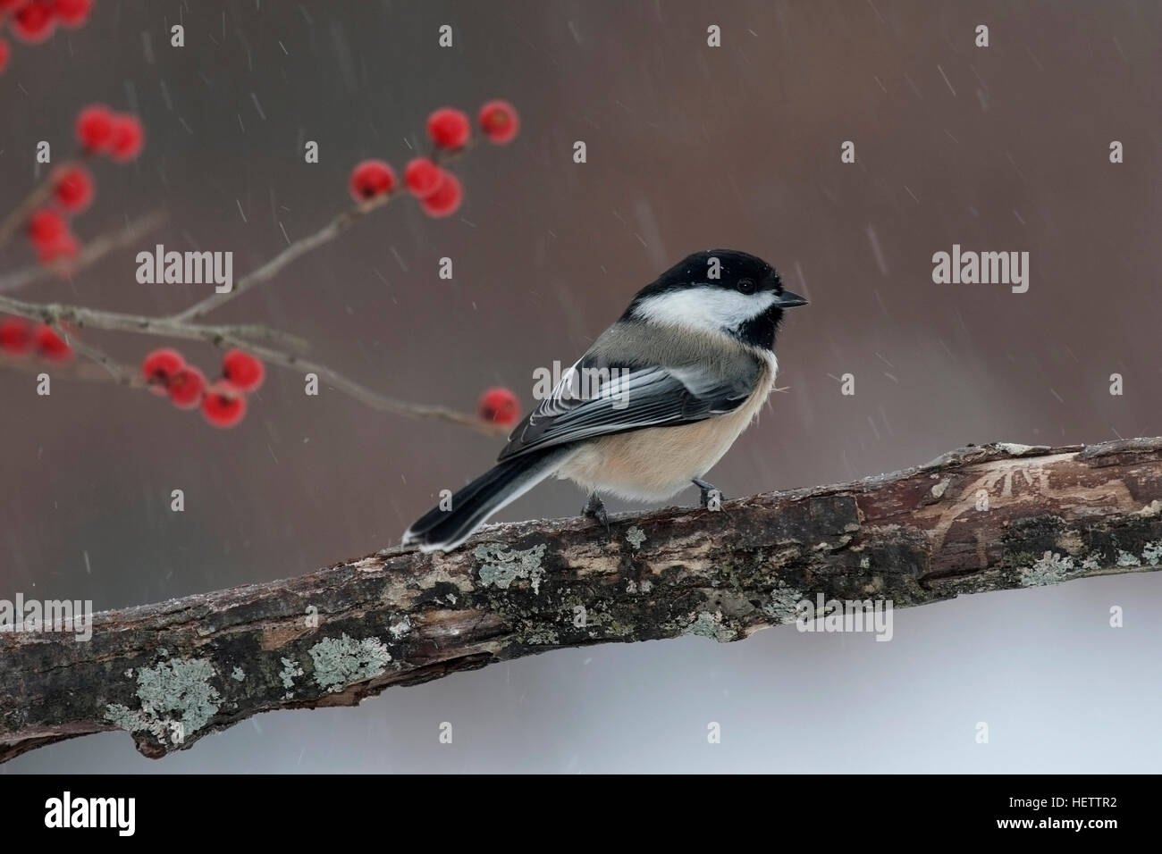 Chickadee perches on branch near winterberry on snowy day - Stock Image