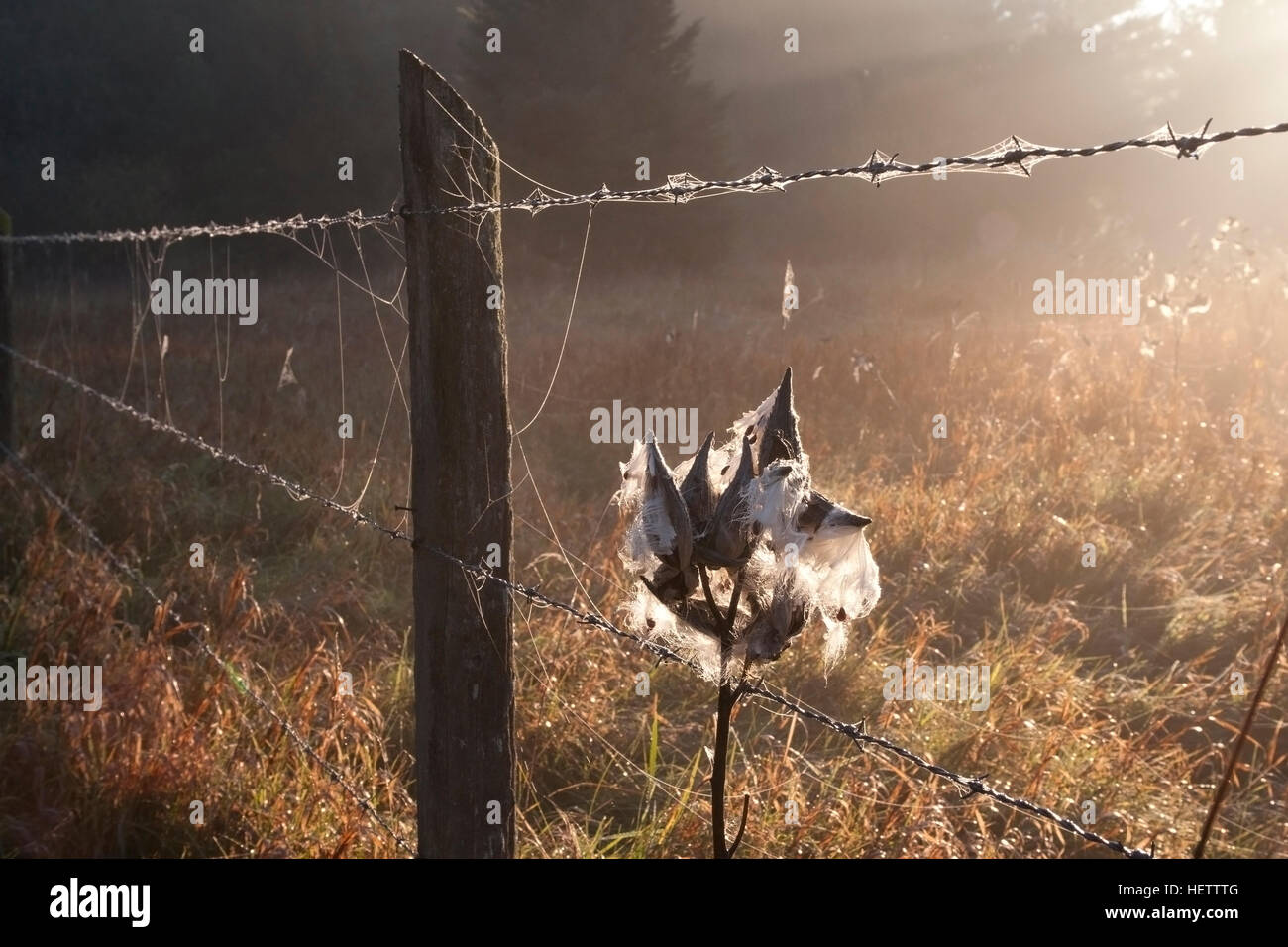 Barb wire fence with backlit cobwebs and milkweed - Stock Image