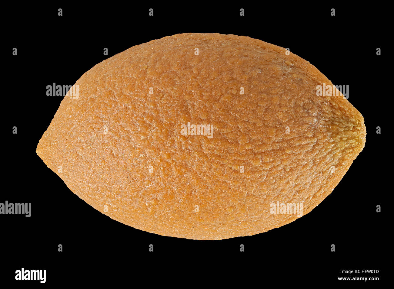 Cephalotaxus fortunei, Chinese plum-yew, Fortunes Kopfeibe, seed, close up, seed size 16-20 mm - Stock Image