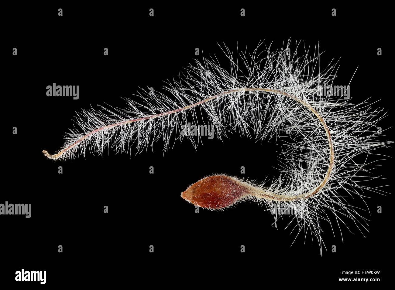 Clematis vitalba, Old man's beard, Gemeine Waldrebe, seed, close up, seed size 3-4 mm - Stock Image