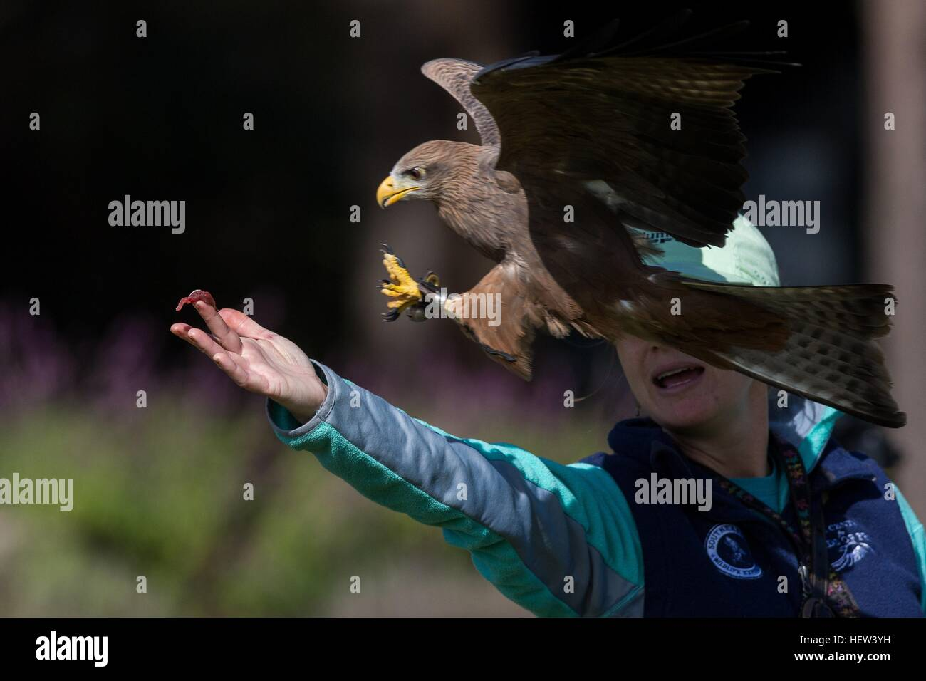 Yellow-billed kite grabs food from a trainer at the Center for Birds of Prey November 15, 2015 in Awendaw, SC. - Stock Image