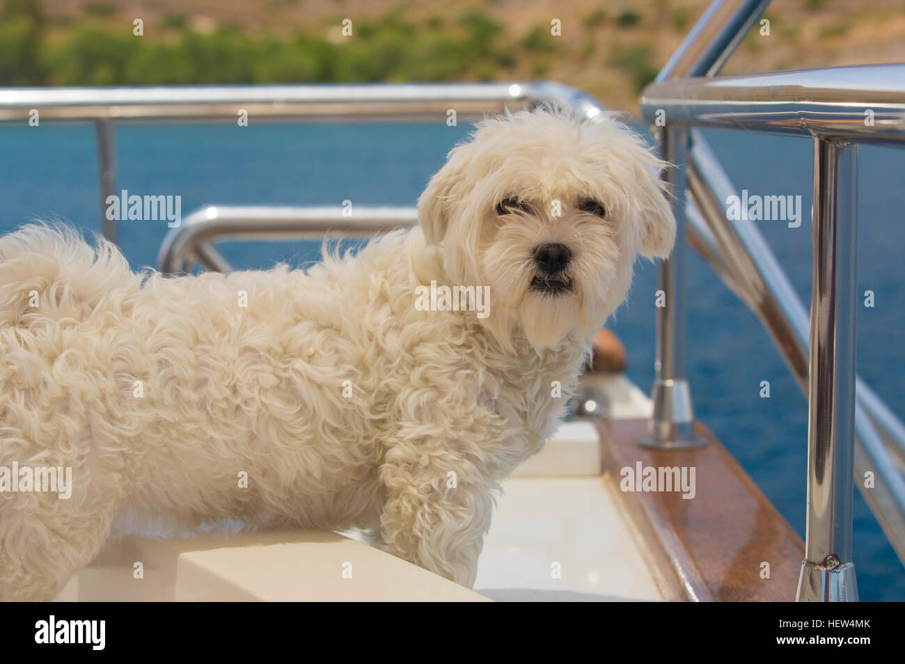 Maltese dog on the deck of a sailing boat - Stock Image