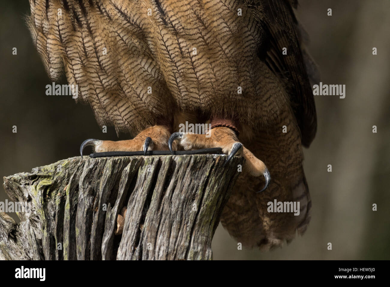 Massive talons on the Eurasian Eagle Owl at the Center for Birds of Prey November 15, 2015 in Awendaw, SC. - Stock Image