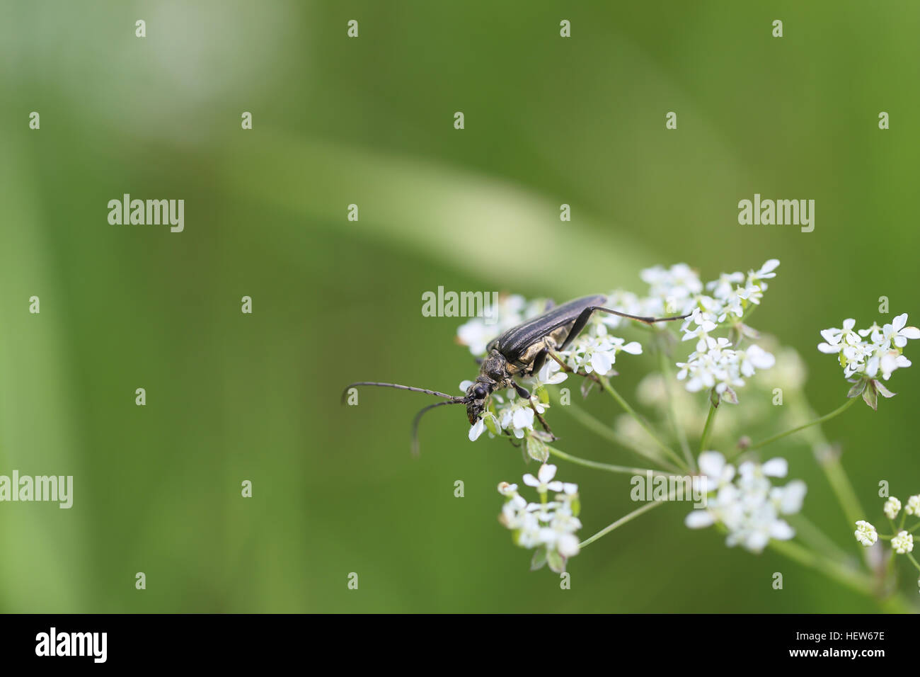 The long-horn beetle Oxymirus cursor. Photographed on Öland, Sweden - Stock Image