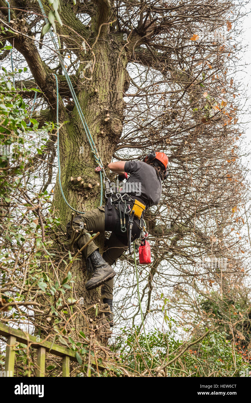A tree surgeon, arborist climbs a tree with ropes and wearing a harness and hard hat in order to reduce and cut - Stock Image