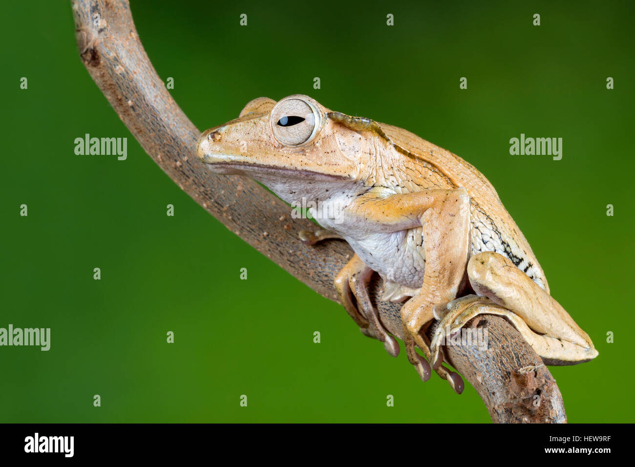 Portrait of a Borneo eared frog - Stock Image