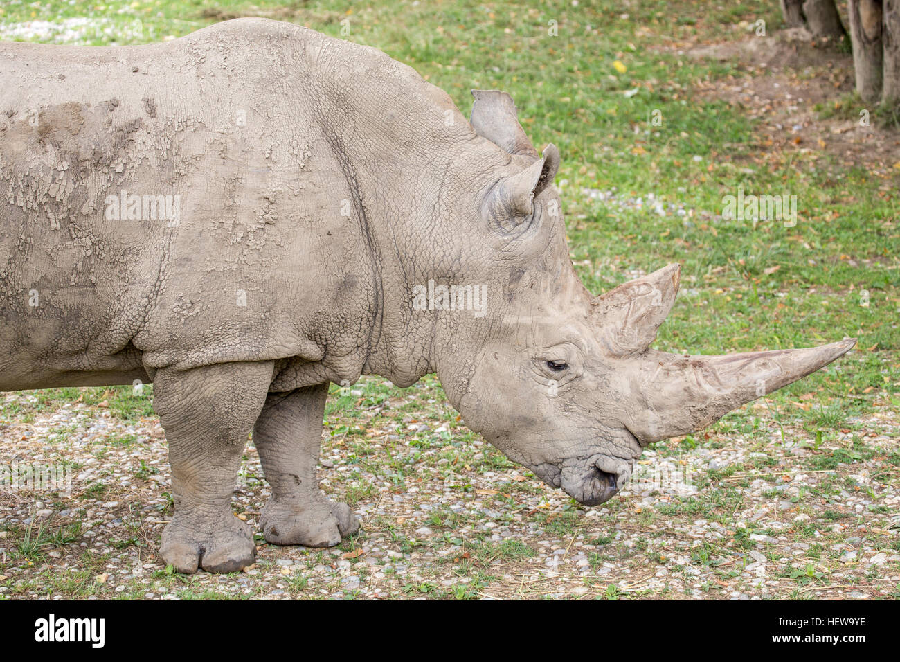 Side view of a white rhinoceros or square-lipped rhinoceros, Ceratotherium simum. These rhinos live in South Africa, Stock Photo