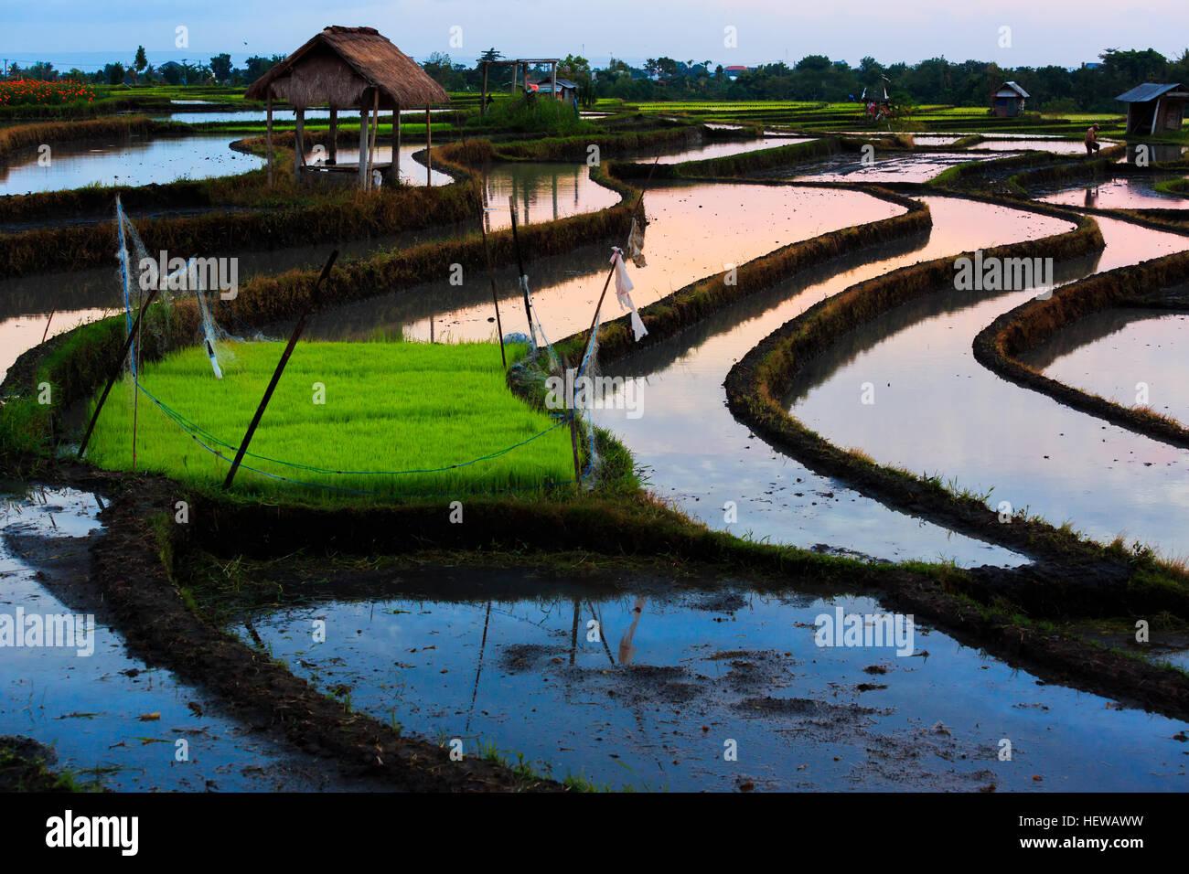 Beautiful rice field. Beautiful rice terraces in Bali, Indonesia - Stock Image