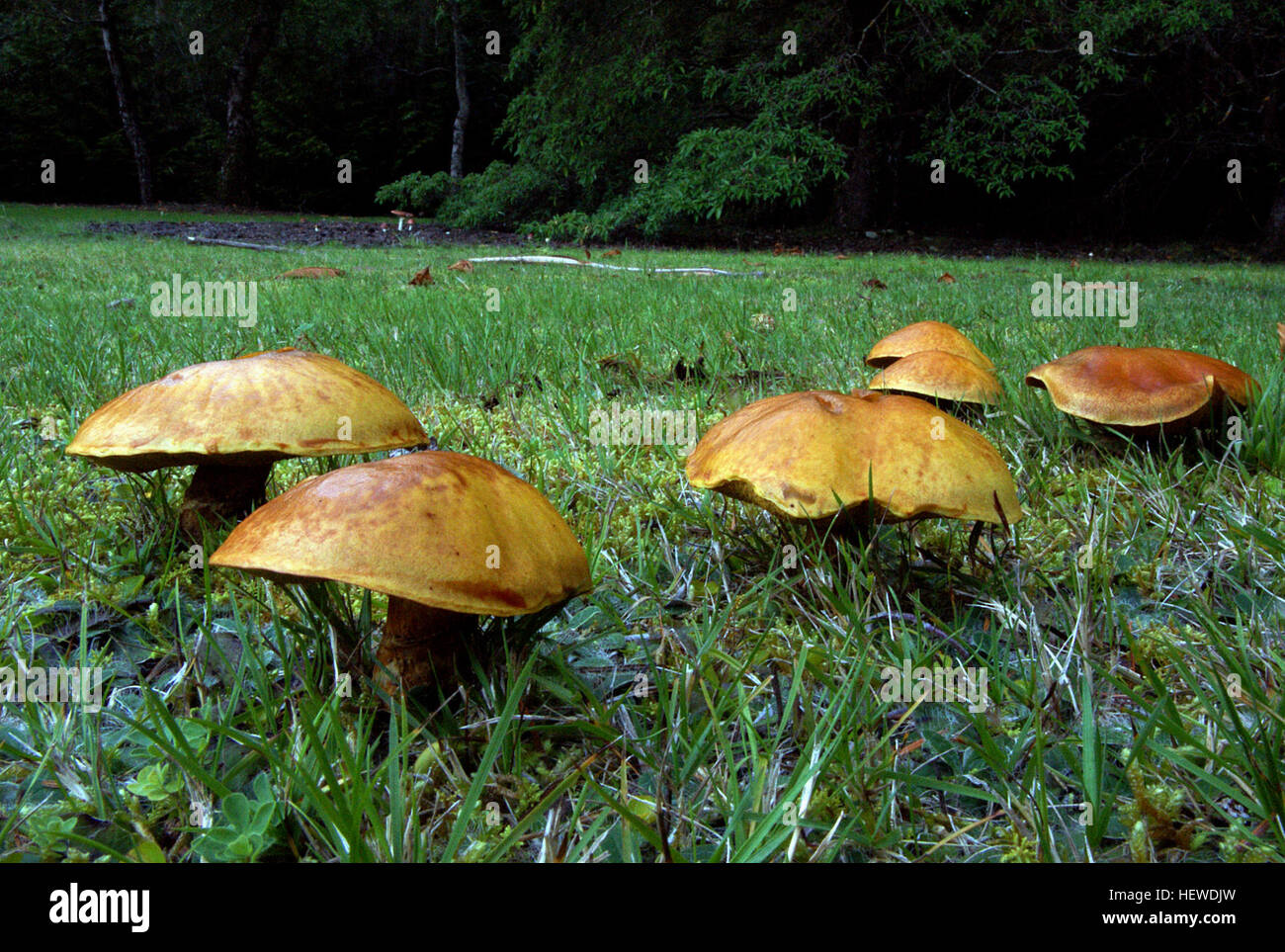 A bolete is a type of fungal fruiting body characterized by the presence of a pileus that is clearly differentiated - Stock Image