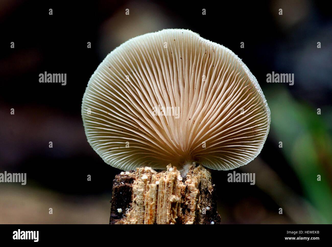 Crepidotus versutus  Crepidotus versutus, commonly known as the evasive agaric, is a species of fungi in the family - Stock Image