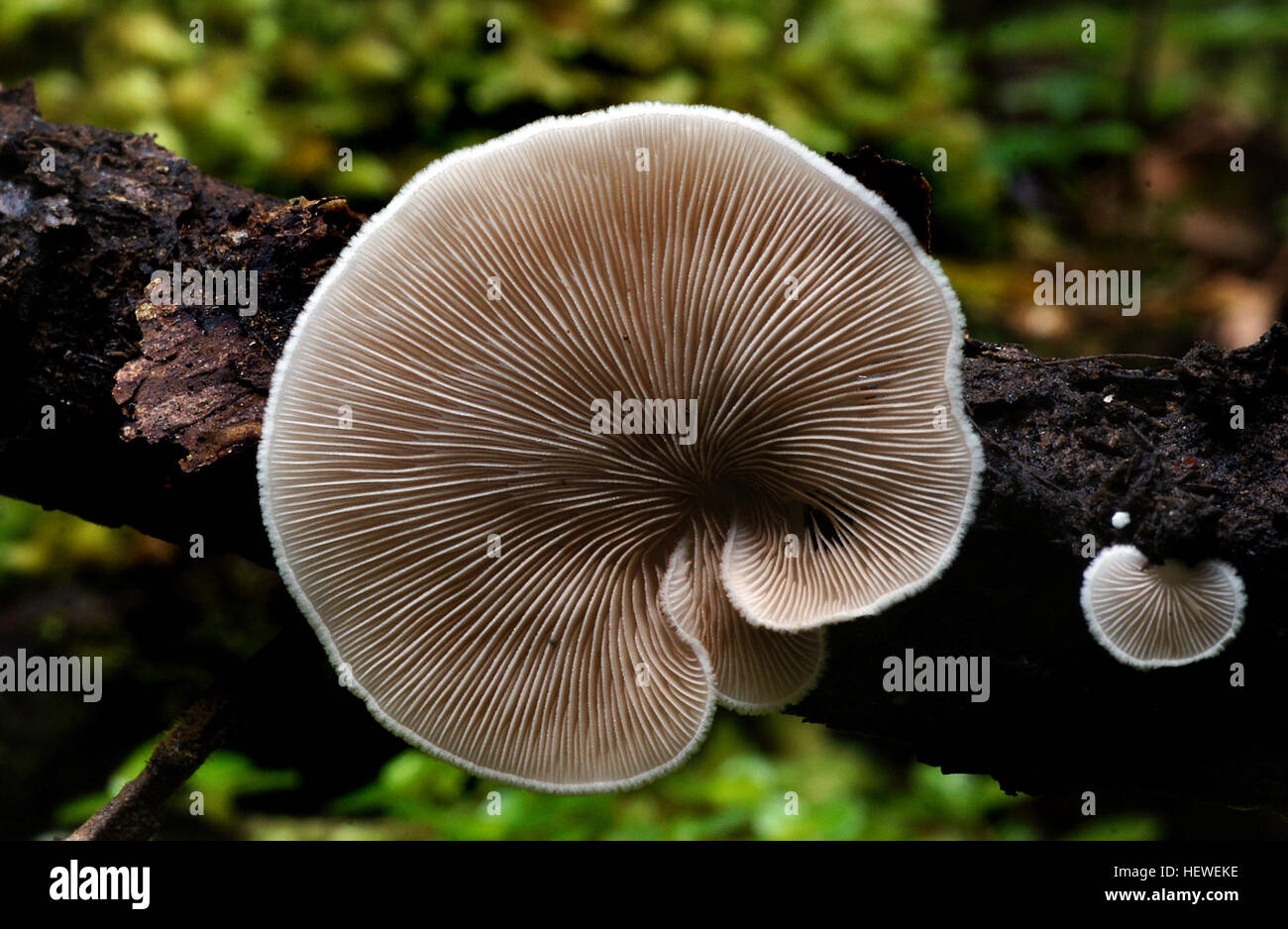 Crepidotus versutus, commonly known as the evasive agaric, is a species of fungi in the family Crepidotaceae. It - Stock Image