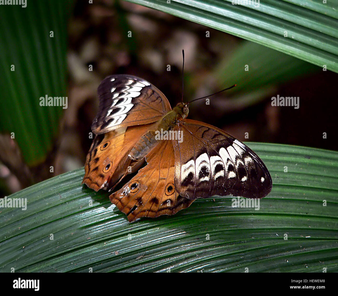 The male Cruiser butterfly is orange brown with fine black border round the upper wings, two small eye spots on - Stock Image
