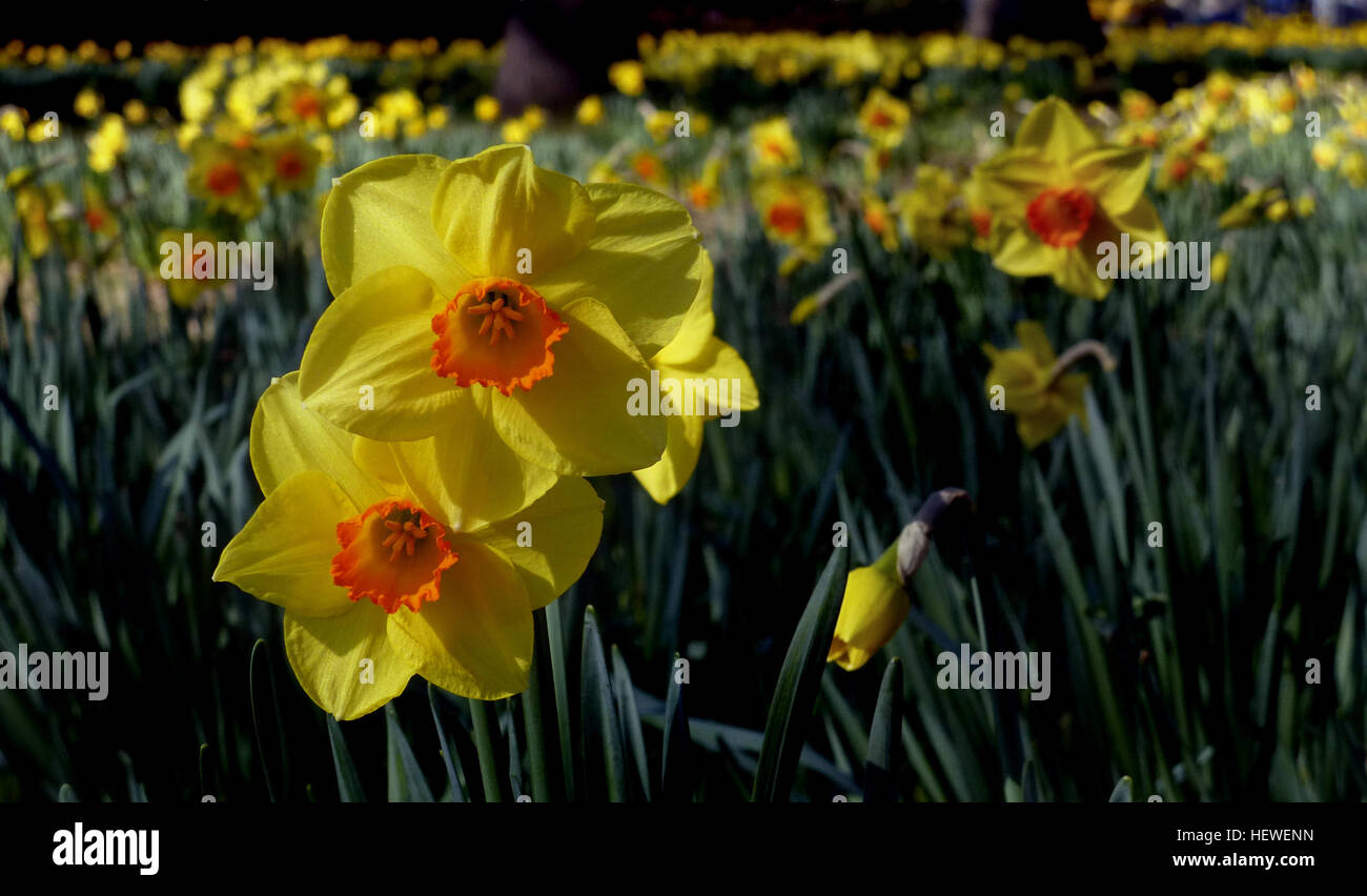 Narcissus is a genus of predominantly spring perennial plants in the narcissus is a genus of predominantly spring perennial plants in the amaryllidaceae amaryllis family various common names including daffodil mightylinksfo