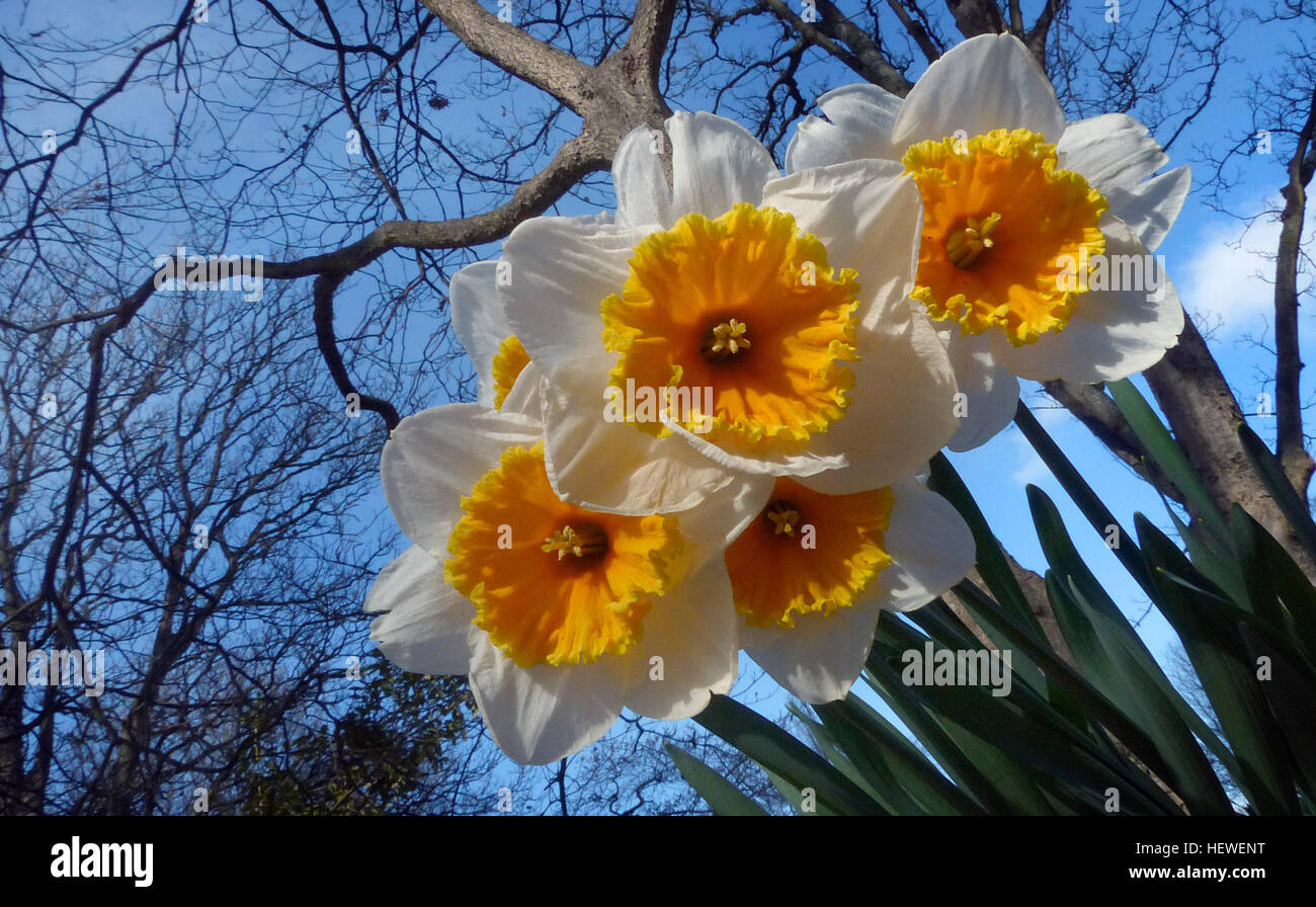 90299c594 Meaning & Symbolism of Narcissus / Daffodils Symbolizing rebirth and new  beginnings, the daffodil is virtually synonymous with spring.