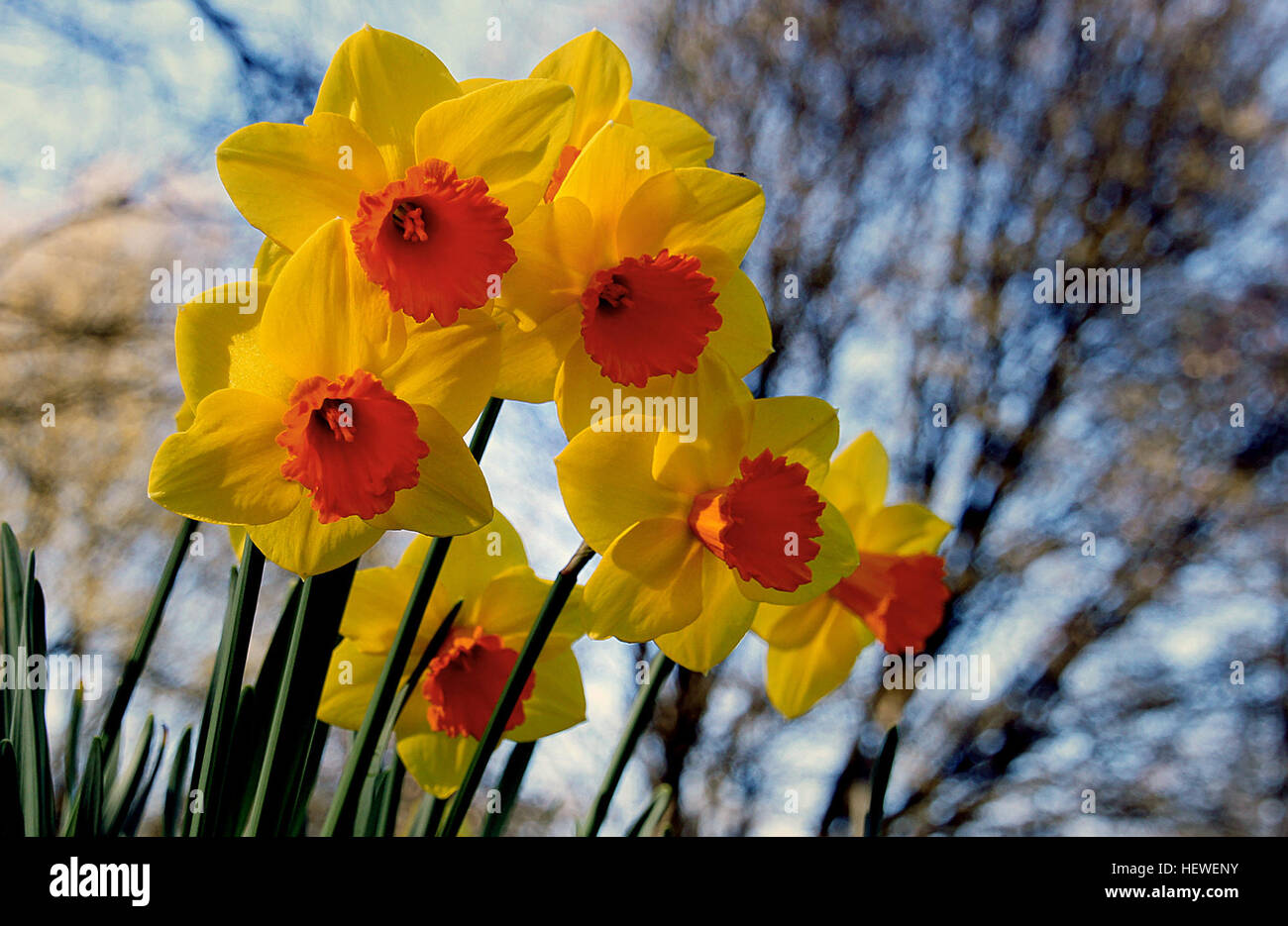 Narcissus Is A Genus Of Predominantly Spring Perennial Plants In The