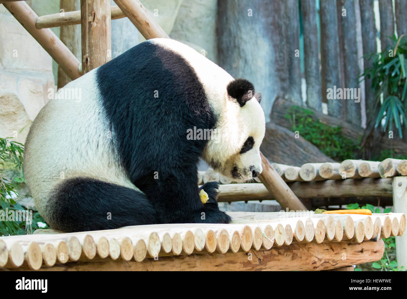 Image of a panda on nature background. Wild Animals. - Stock Image
