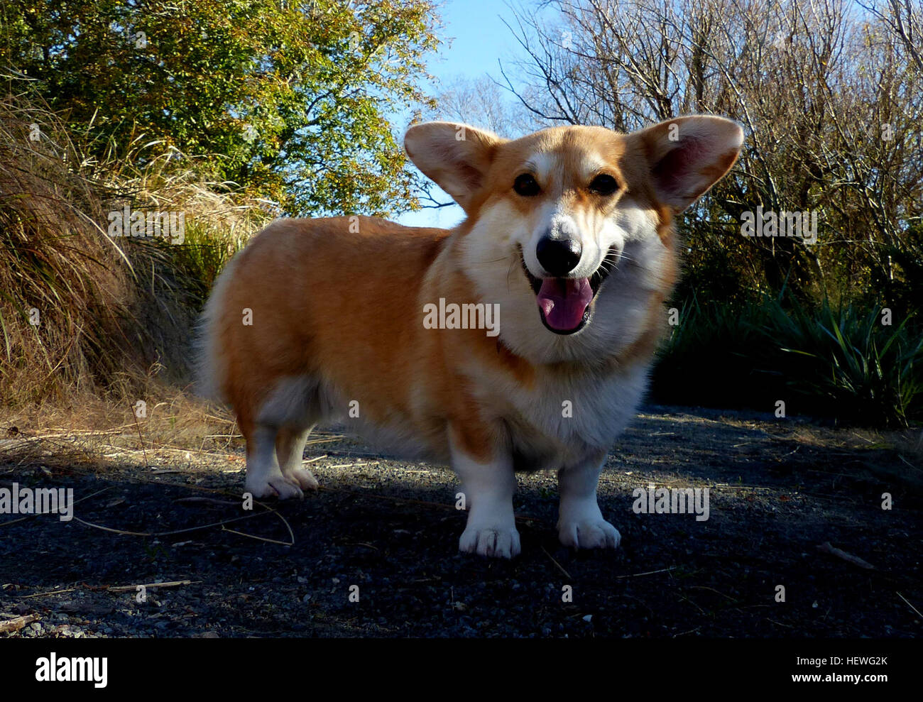 The Pembroke Welsh Corgi  is a herding dog breed, which originated in Pembrokeshire, Wales. It is one of two breeds known as Welsh Corgi: the other is the Cardigan Welsh Corgi. The Pembroke Welsh Corgi is the younger of the two Corgi breeds and is a separate and distinct breed from the Cardigan.[1] The corgi is one of the smallest dogs in the Herding Group. Pembroke Welsh Corgis are famed for being the preferred breed of Queen Elizabeth II, who has owned more than 30 during her reign. These dogs have been favoured by British royalty for more than seventy years. Stock Photo