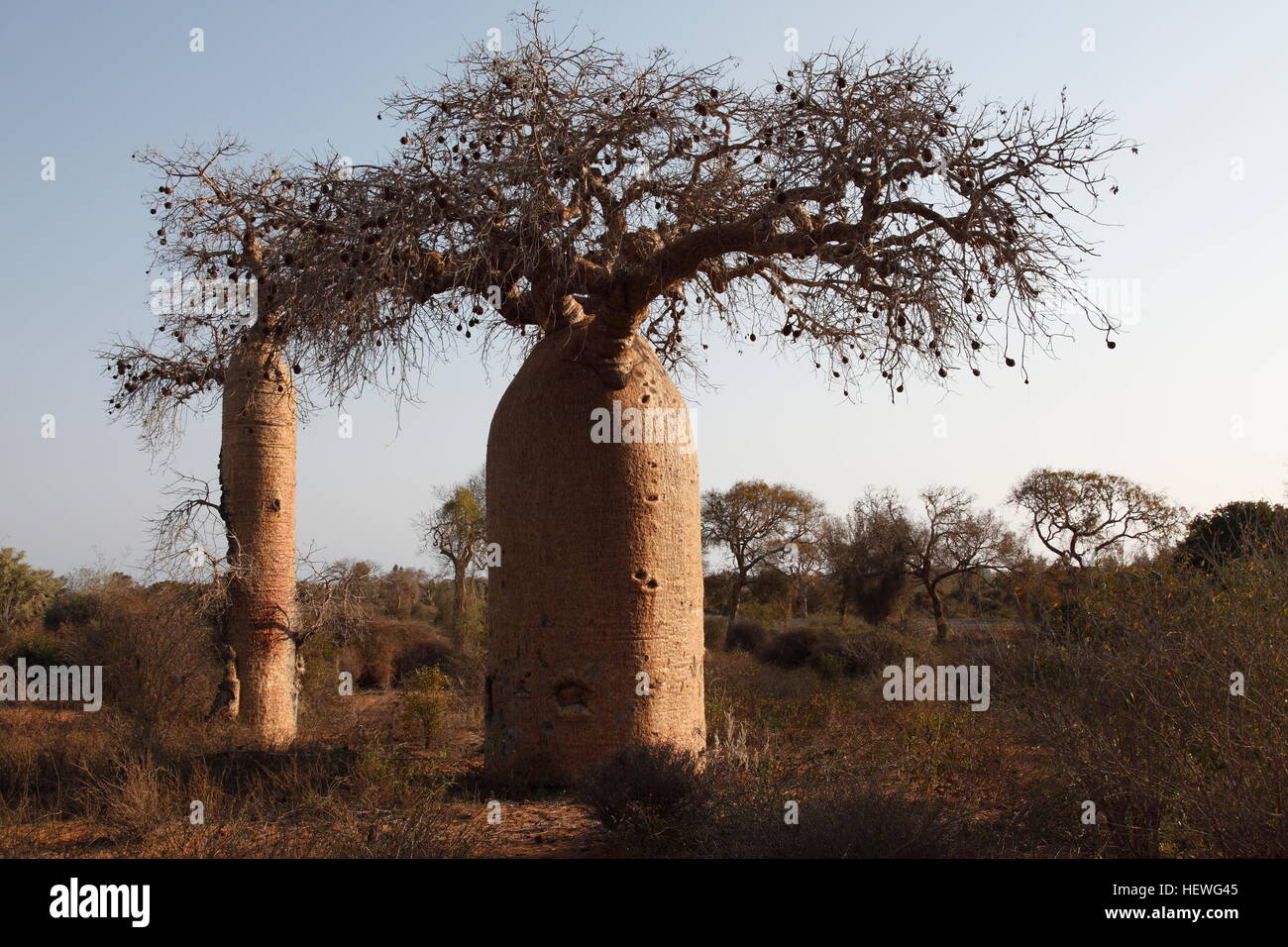 Andansonia Rubrostipa Baobab trees inland from Ifaty, north of Tulear - Stock Image