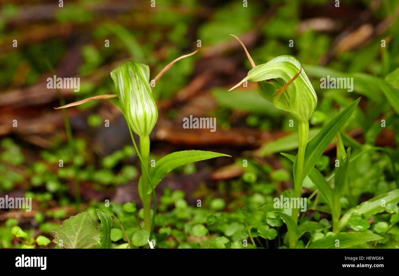 Pterostylis is a genus of about 120 species of plants in the orchid family, Orchidaceae. Commonly called greenhood - Stock Image