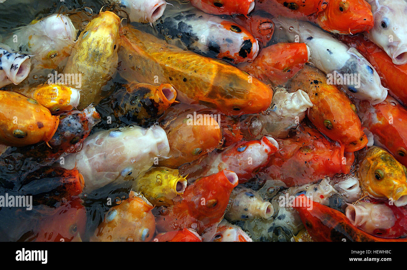 The Word Koi Comes From Japanese Simply Meaning Carp It Stock