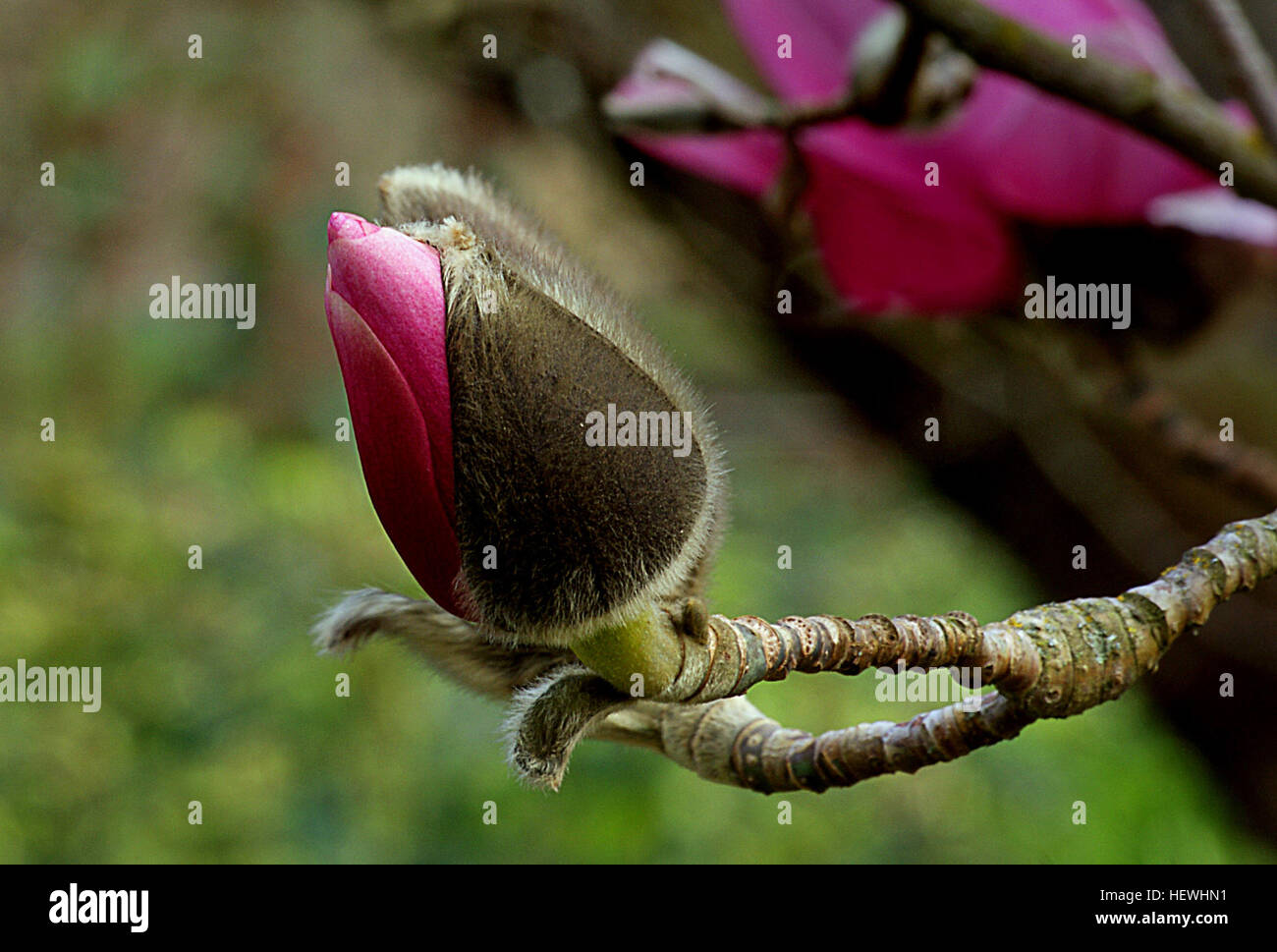 Magnolia is a large genus of about 210[1] flowering plant species in the subfamily Magnolioideae of the family Magnoliaceae. Stock Photo