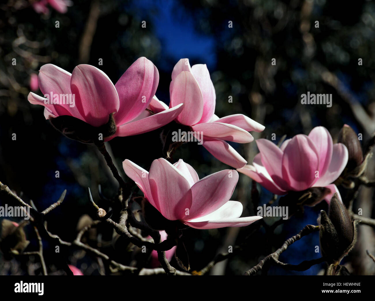 Magnolia is a large genus of about 210 flowering plant species in the subfamily Magnolioideae of the family Magnoliaceae. Stock Photo