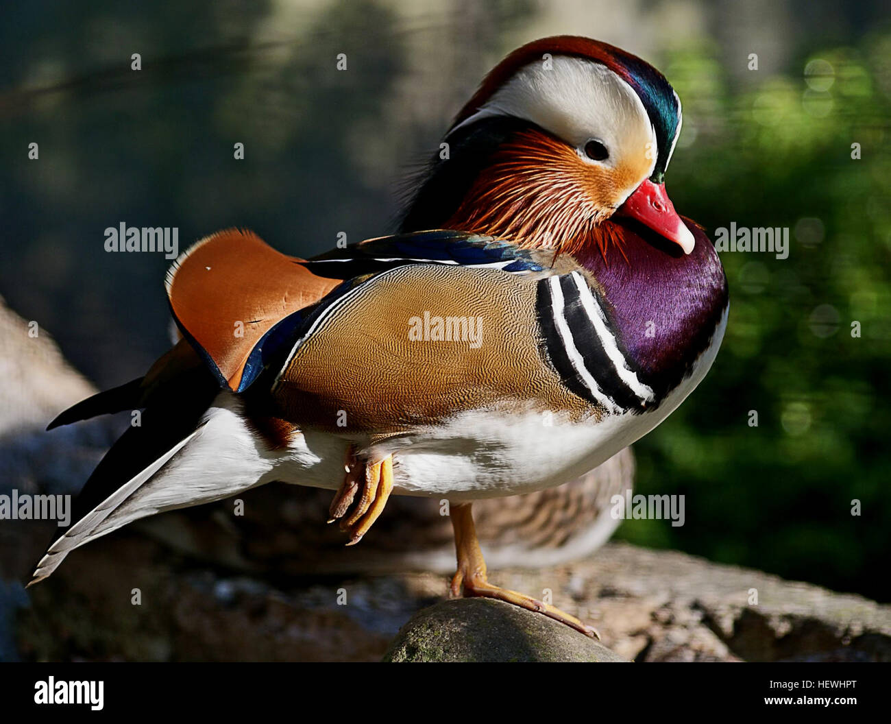 The Mandarin duck is a sexually dimorphic species, meaning males and females differ in appearance. The male has Stock Photo